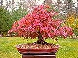 Arce japonés rojo Bonsái, crecer su propio árbol, Office Decor, 20pcs / bag Semillas