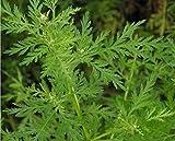AGROBITS Artemisia annua 200 semillas (ajenjo) Planta bueno para la salud