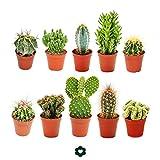 Conjunto de 10 cactusdiferentes, con macetero de aproximadamente 5,5cm8 cm a 15cm.