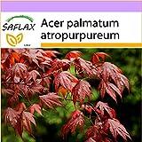 SAFLAX - Arce japonés - 20 semillas - Acer palmatum